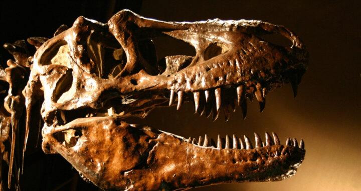 T-Rex Dinosaur Skull